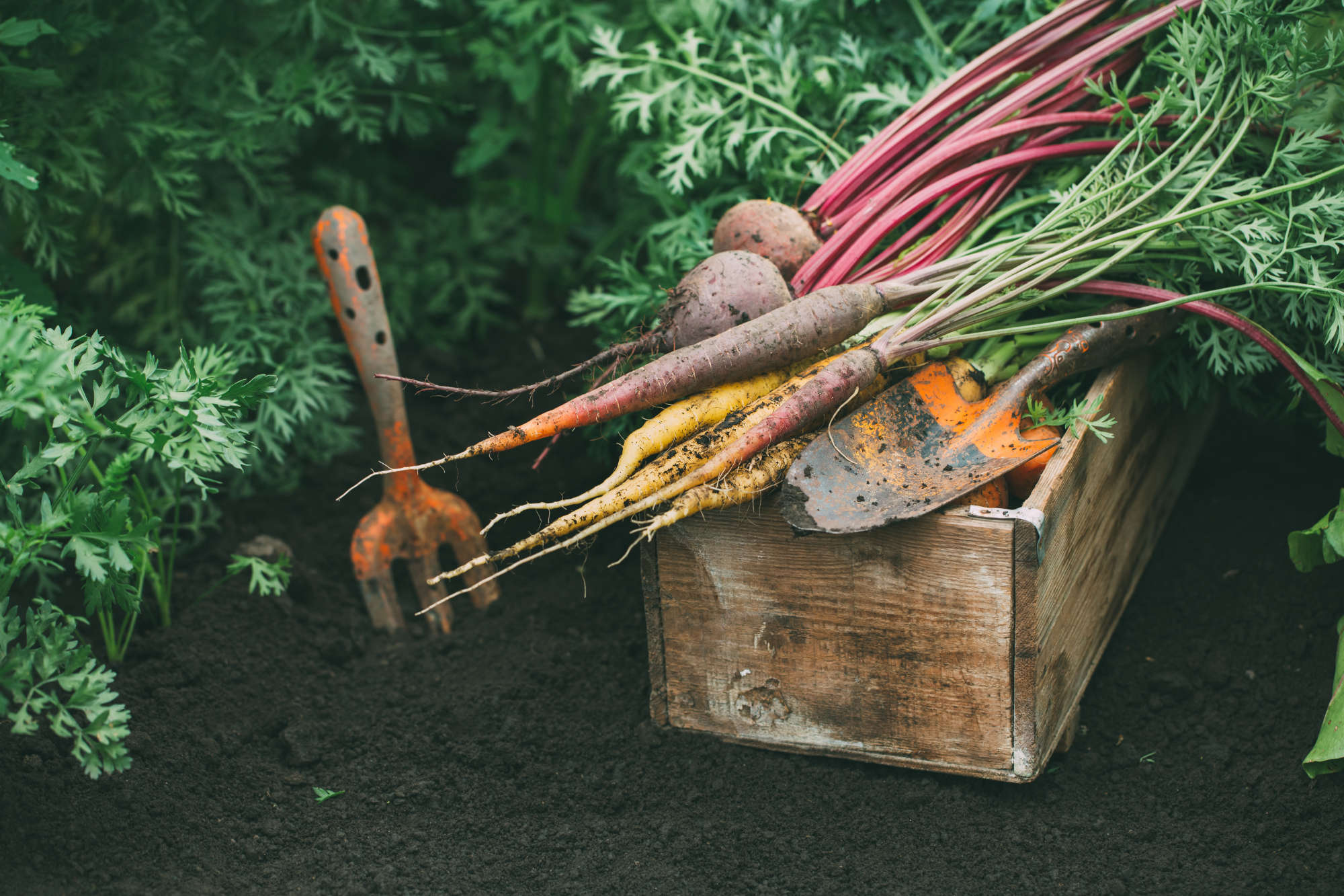 Harvest beets and carrots. Farm vegetables. Healthy food